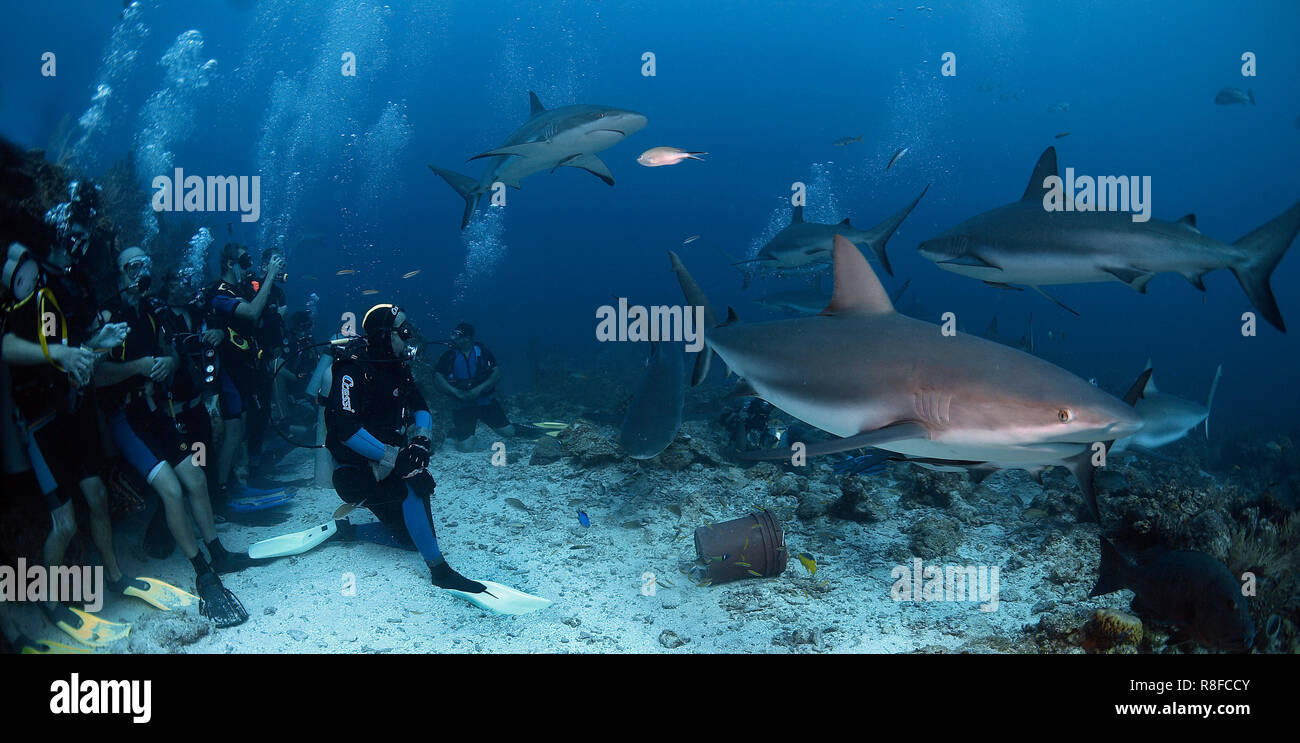 A group divers watching Caribbean Reef Sharks (Carcharhinus perezi), Roatan island, Bay Islands, Honduras - Stock Image