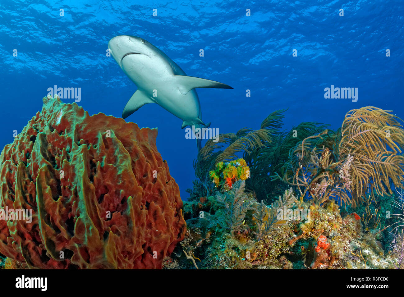 Caribbean Reef Shark (Carcharhinus perezi) swimming over a colourful coral reef, Grand Bahama, Bahamas Stock Photo