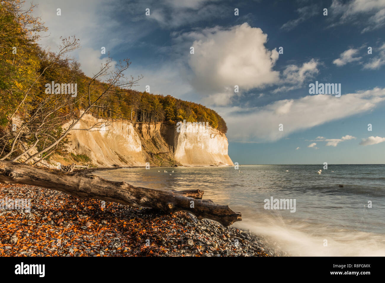 Chalk cliffs on Rügen island in the Jasmund National Park in autumn mood. Blue sky with clouds in sunshine. A dead tree trunk lies in the foreground. Stock Photo