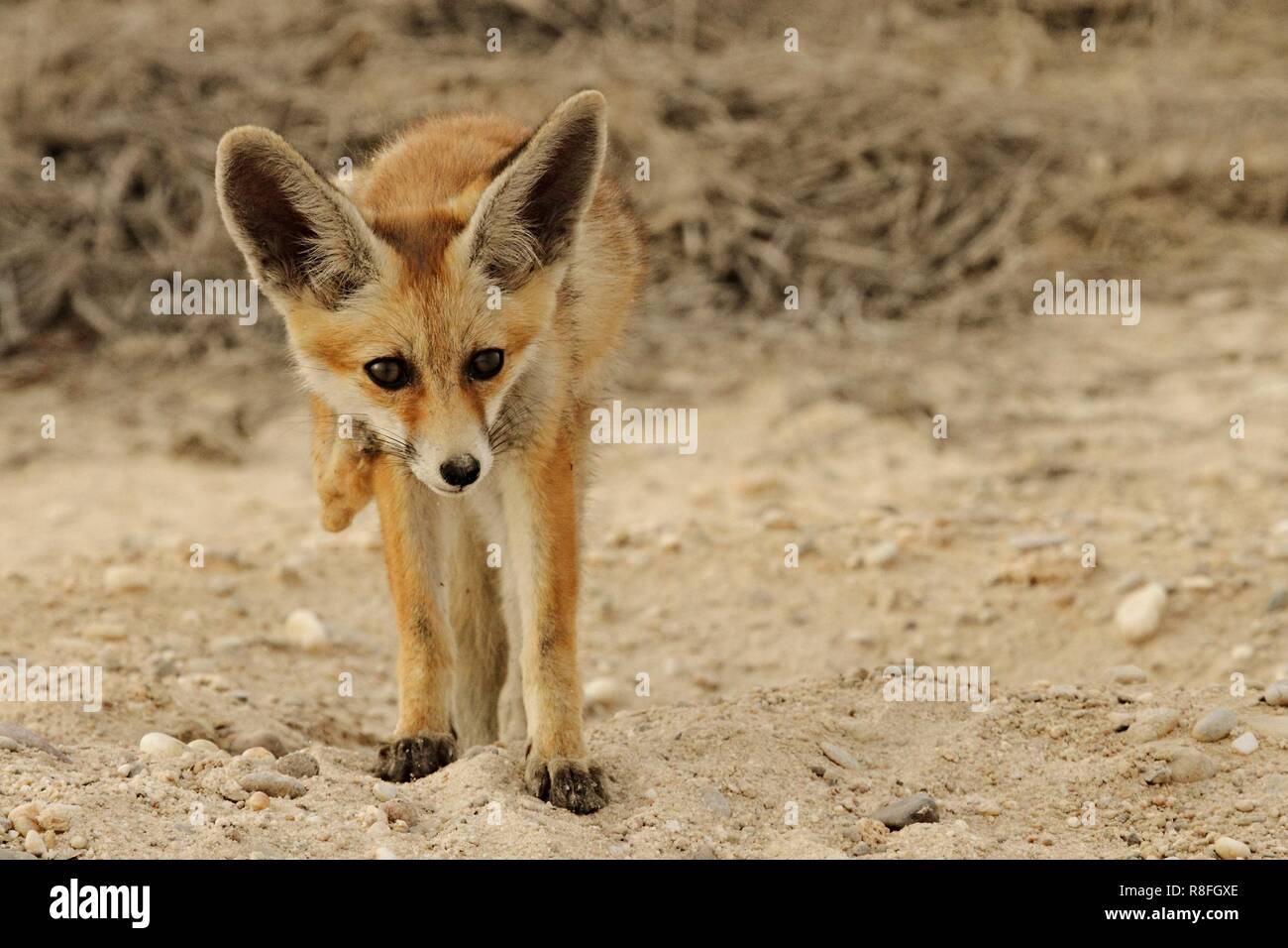 Arabian red Fox getting out of his Burrow and scratching his body Stock Photo