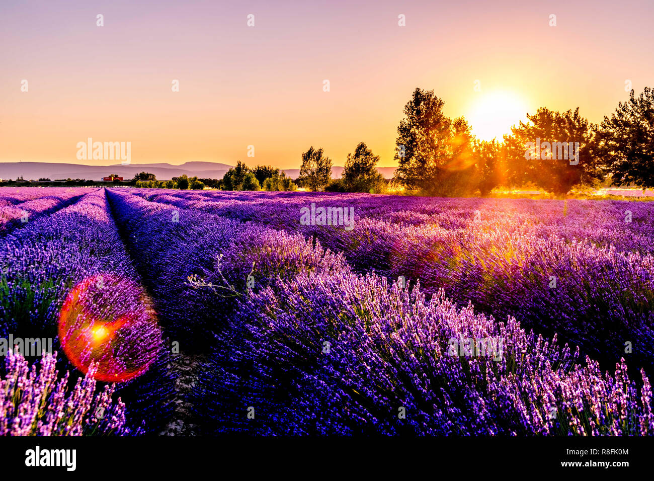 Lavender Field Purple Flowers At Sunset Landscape Stock Photo Alamy
