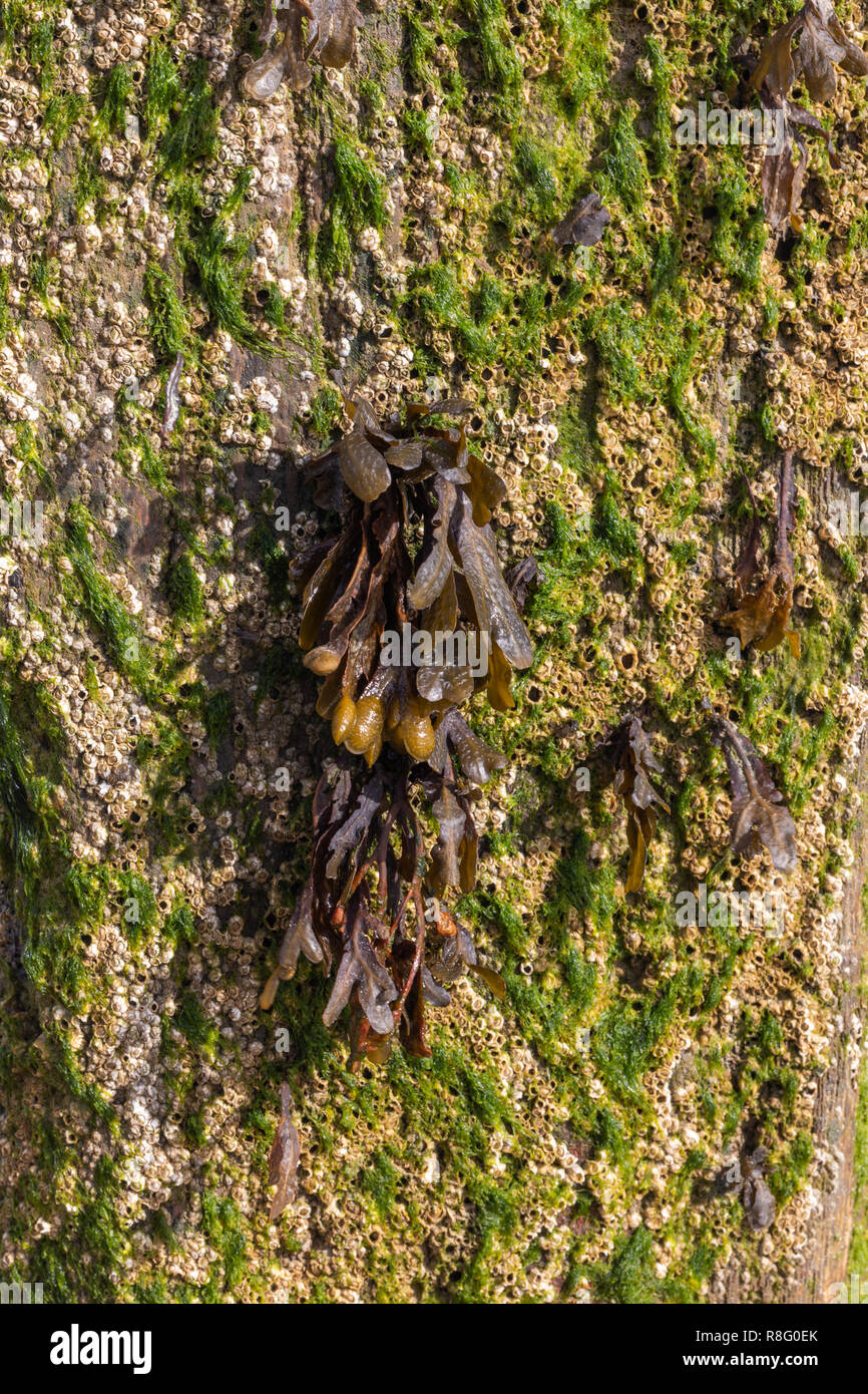 Close up of seaweed growing from the wooden groynes on the beach Stock Photo
