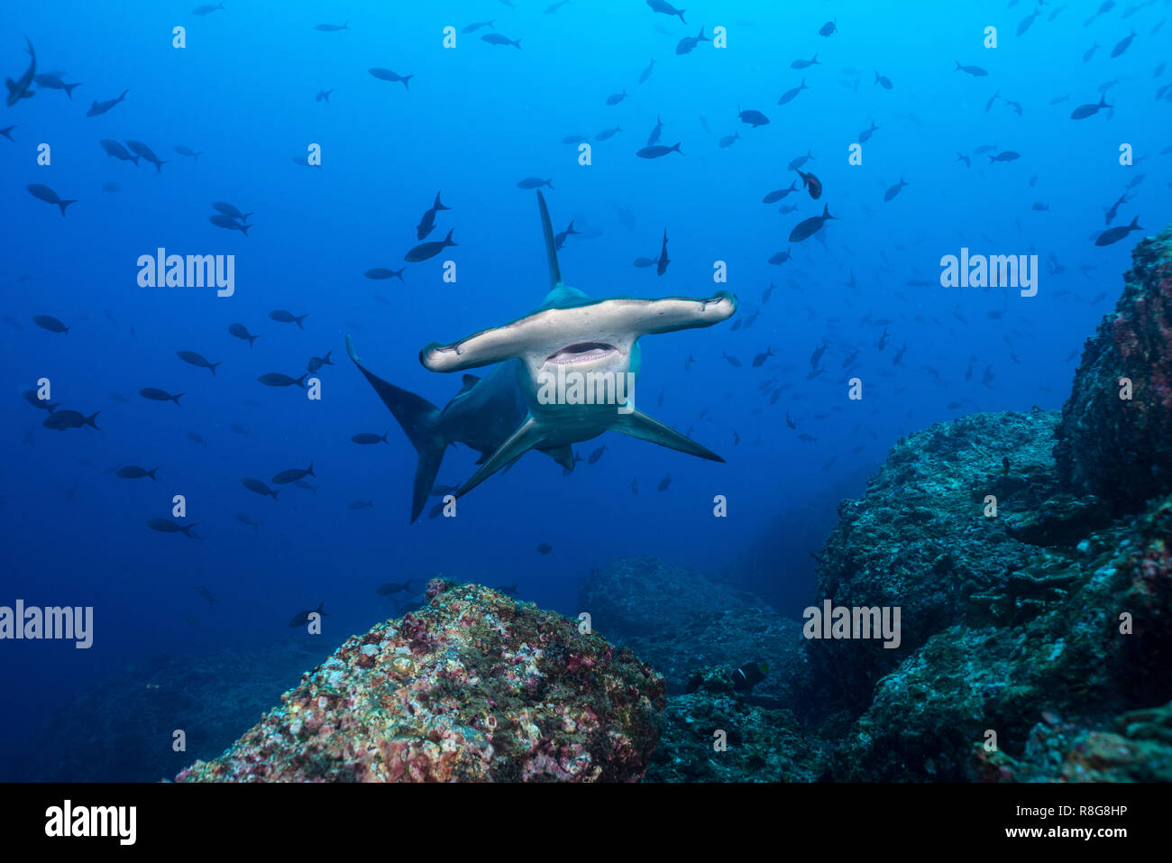 Hammerhead at Cocos Island, Costarica - Stock Image