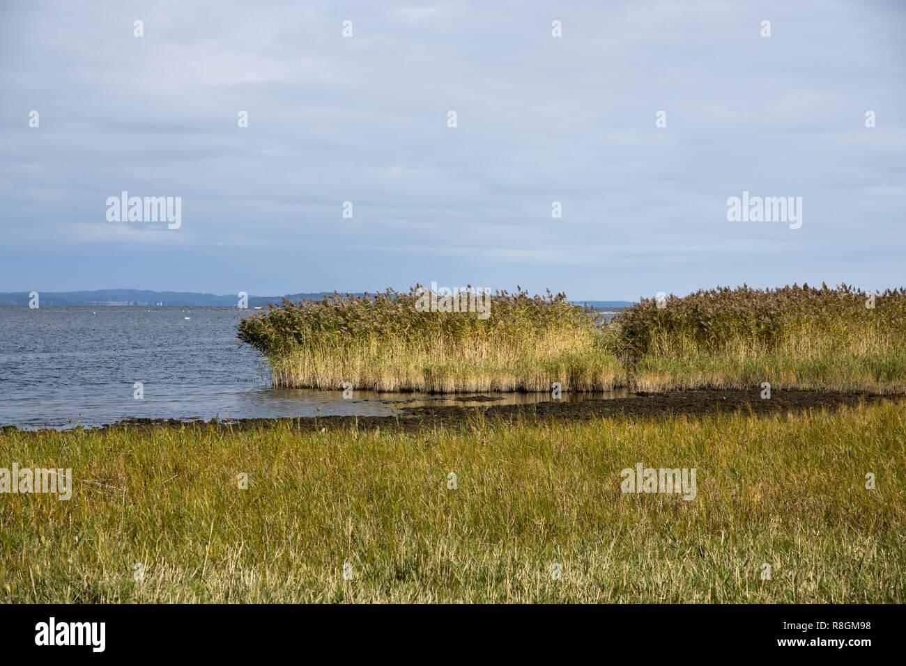 Reed bed on Zudar peninsula in the very south of Rügen Island in Northeastern Germany.  Schilfgürtel auf der Halbinsel Zudar weit im Süden von Rügen. - Stock Image
