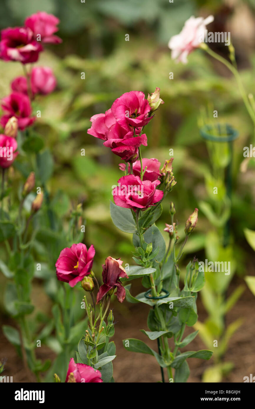 Prairie gentian or lisianthus (Eustoma) growing in a garden. - Stock Image