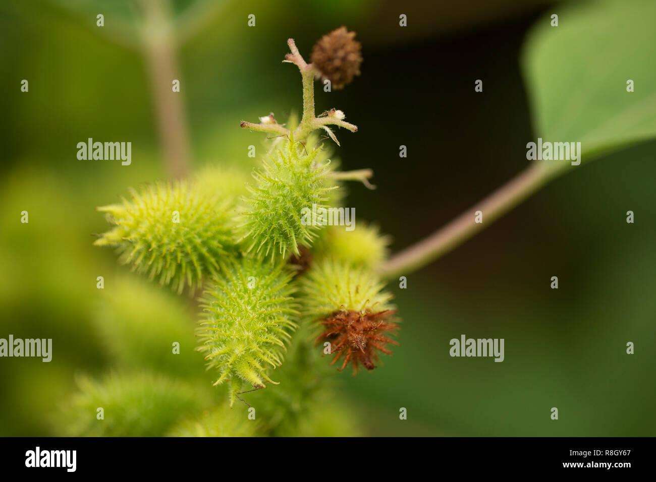 Rough cocklebur (Xanthium strumarium) growing in a garden
