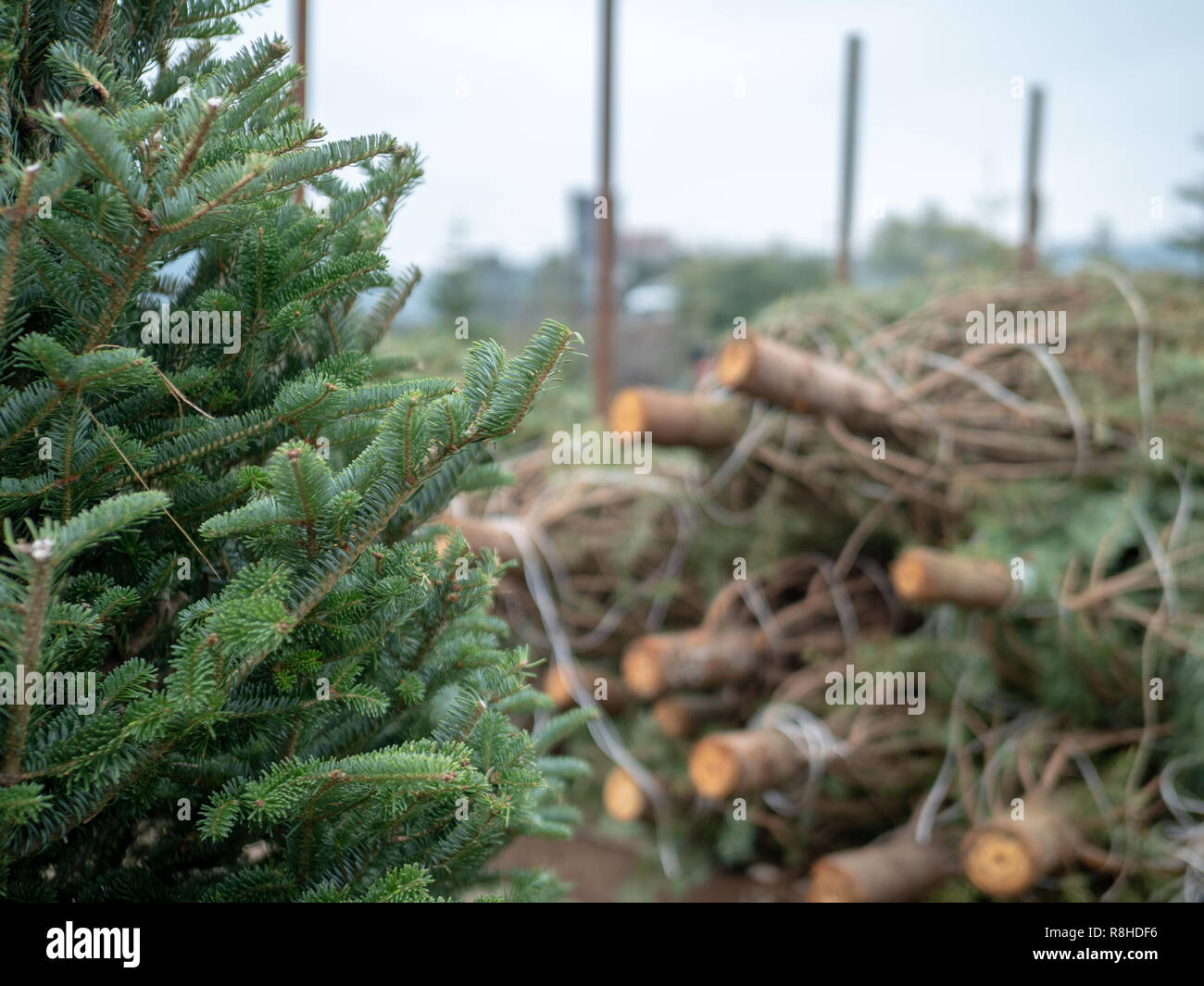 Stack of medium sized douglas fir Christmas trees cut down and sawed on a flatbed truck at market - Stock Image