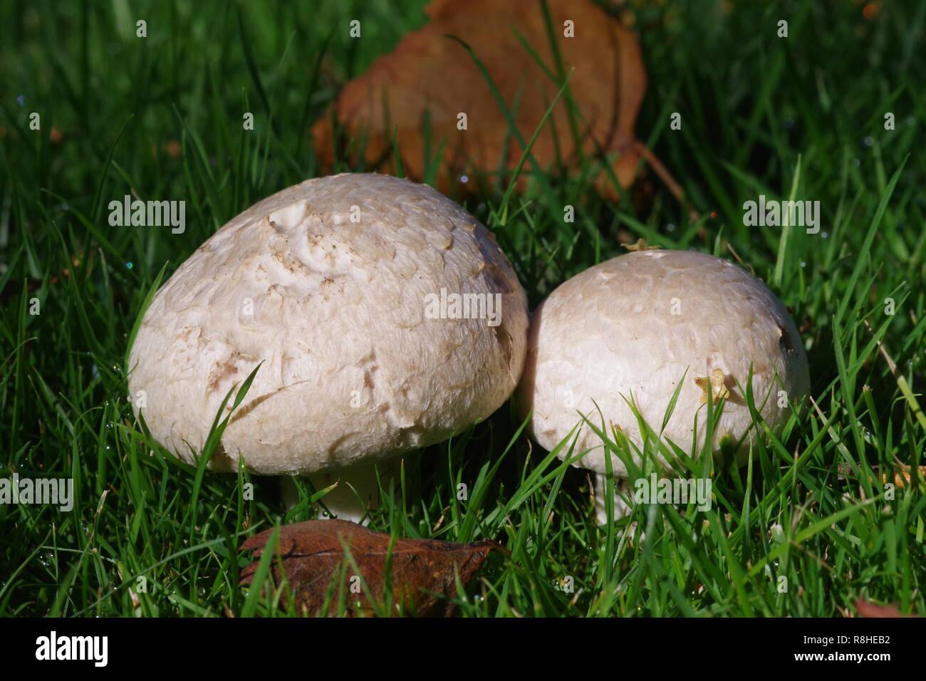 Field Mushroom Pair (Agaricus campestris) Growing on the Lawn at Cruickshank botanic garden. Old Aberdeen, Scotland, UK. Early Autumn, 2018. - Stock Image