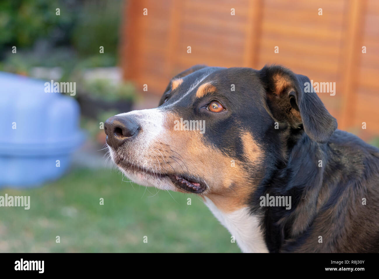 Appenzeller mountain dog posing outside - Stock Image