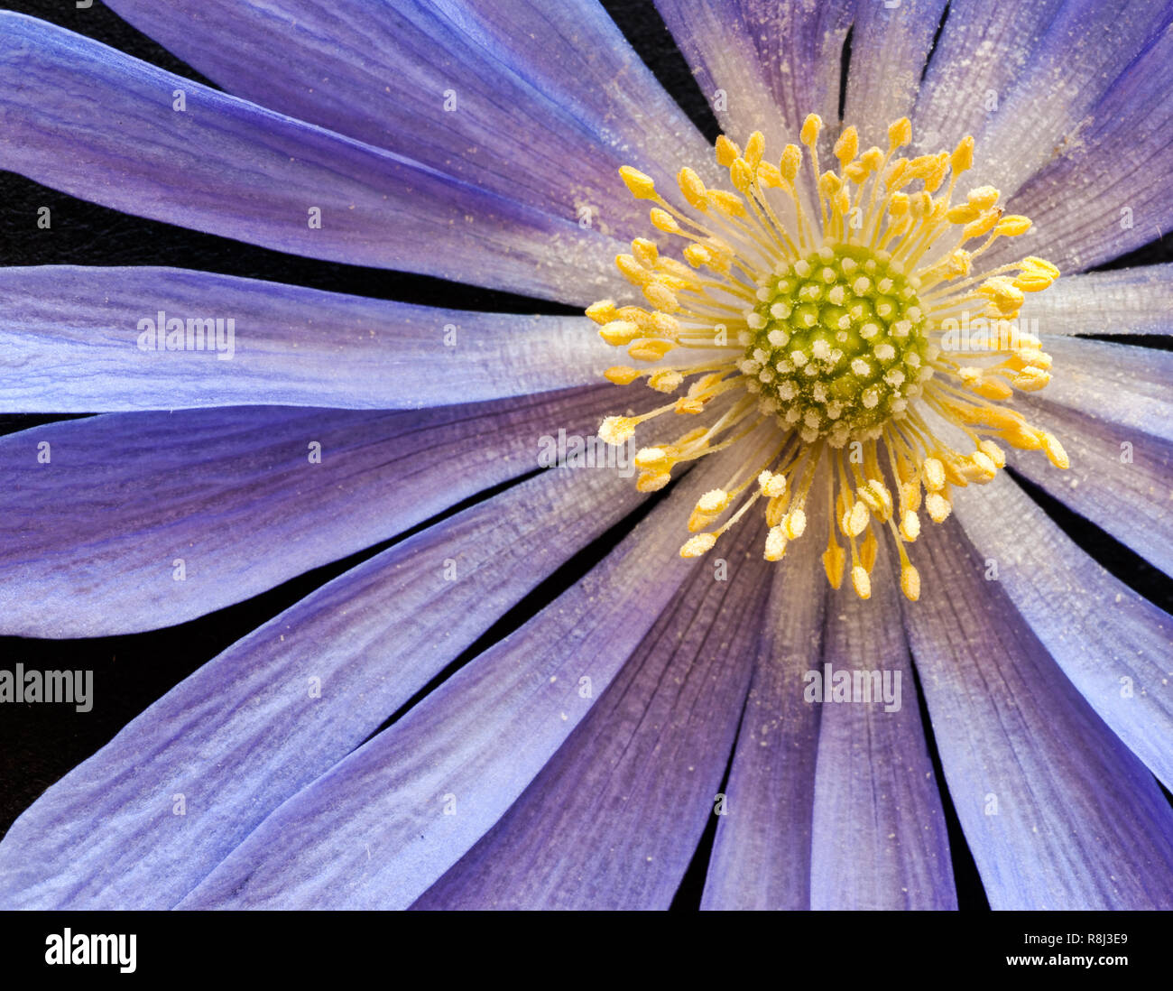 Close-up (macro) of blue star anemone (Anemone blanda) blossom. Lavender sepals encircle the reproductive parts: anthers, stamens, pistils, stigmas, f - Stock Image