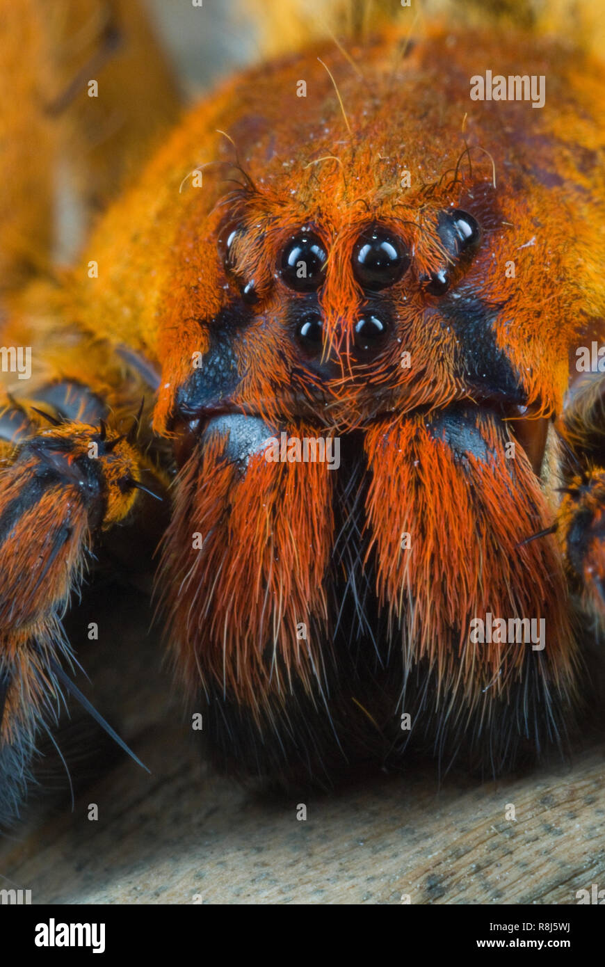 Close-up of wandering spider (Cupiennius getazi). Note eight eyes and large hair-covered jaws (chelicerae) under the eyes. Large spider wanders around Stock Photo