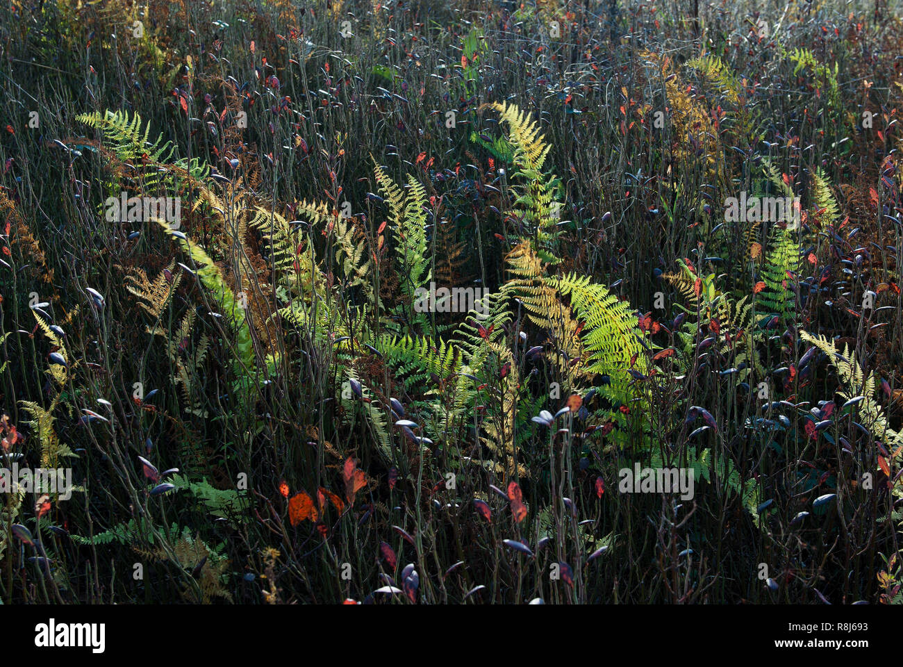 Eastern hay-scented ferns (Dennstaedtia punctilobula) and lowbush blueberry plants (Vaccinium pallidum) backlit by afternoon sun in mid-October in the - Stock Image