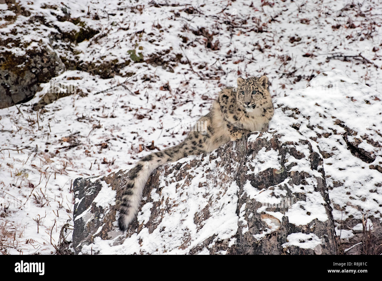 Snow Leopard Cub in the Snow, Crouching atop a Rocky Ledge - Stock Image
