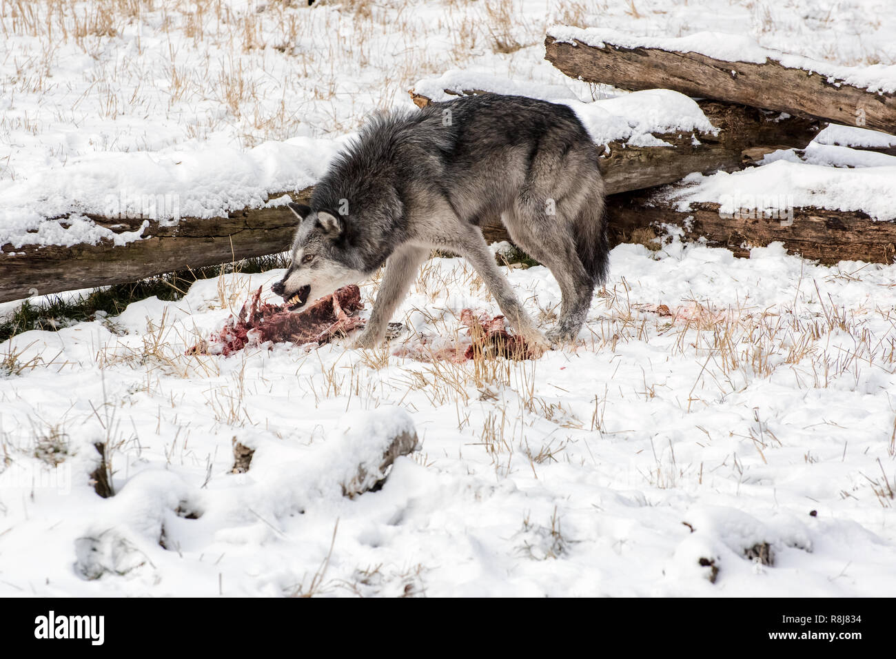 Tundra Wolf Snarling over an Elk Carcass in the Snow - Stock Image