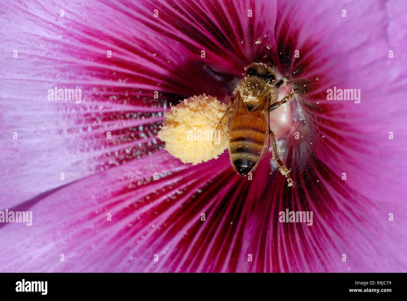 Bee pollinating purple flower - Stock Image