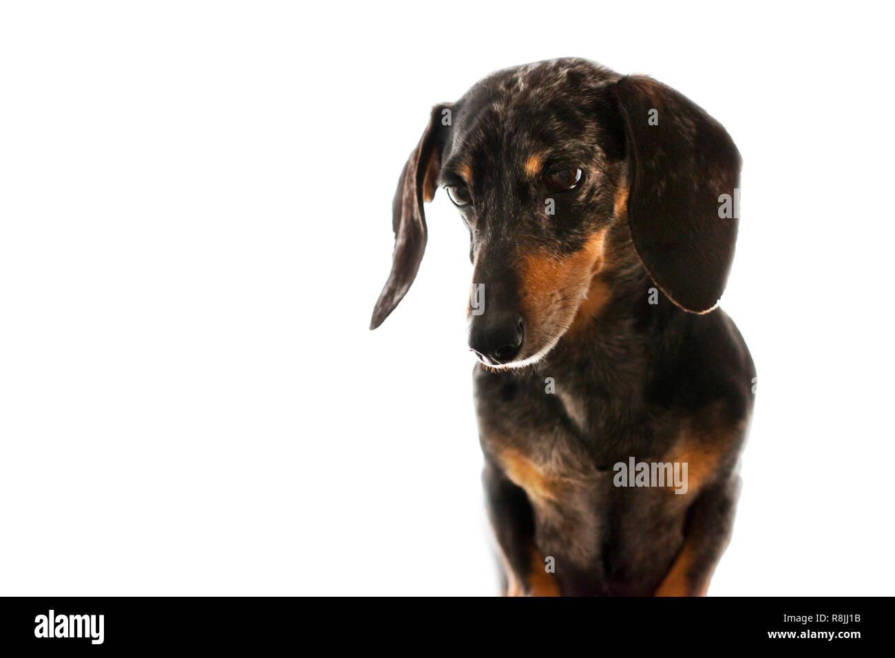Senior Miniature Black and Tan Dapple Dachshund with White Background. - Stock Image