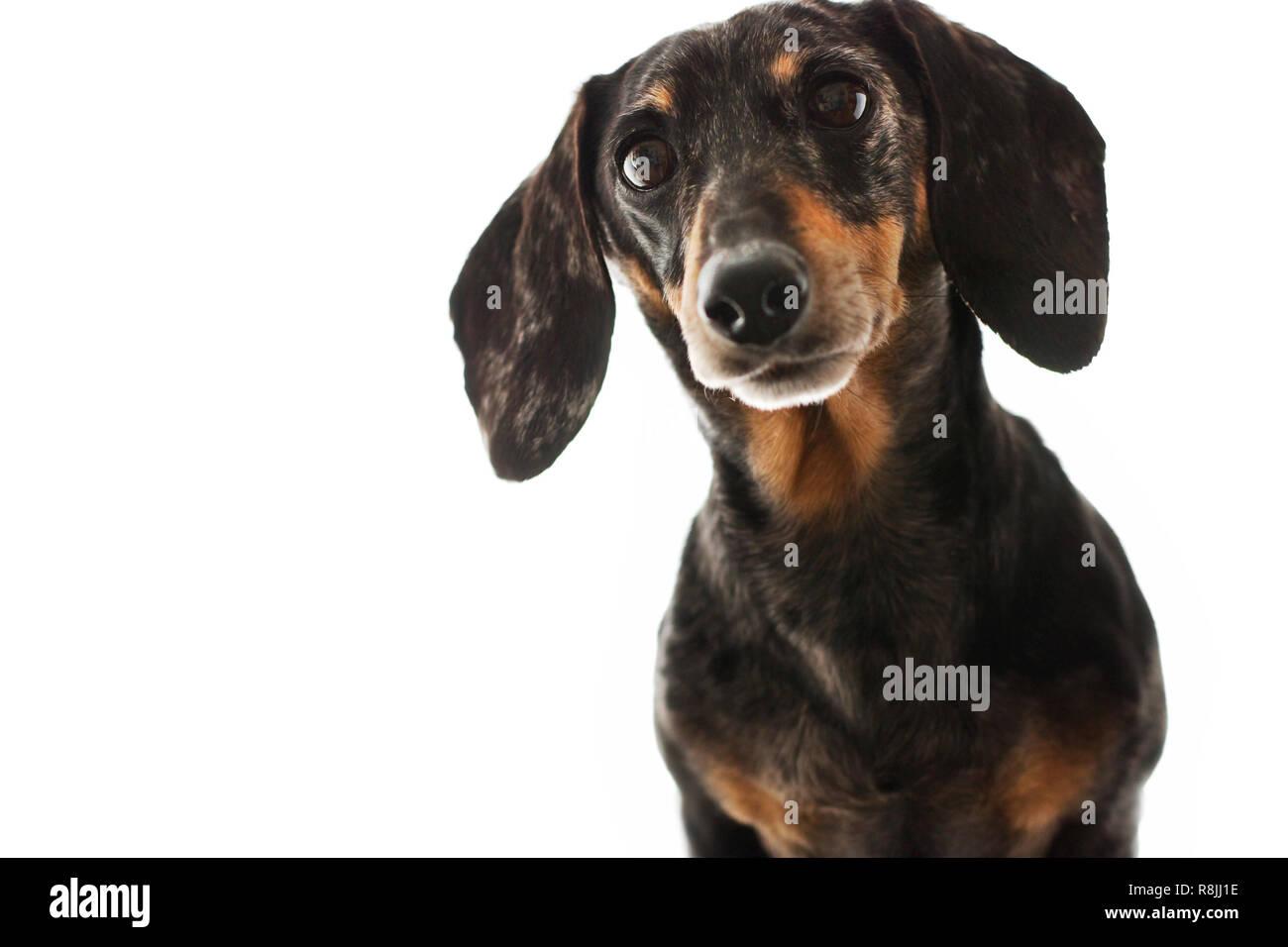 Senior Miniature Black and Tan Dapple Dachshund with White Background - Stock Image