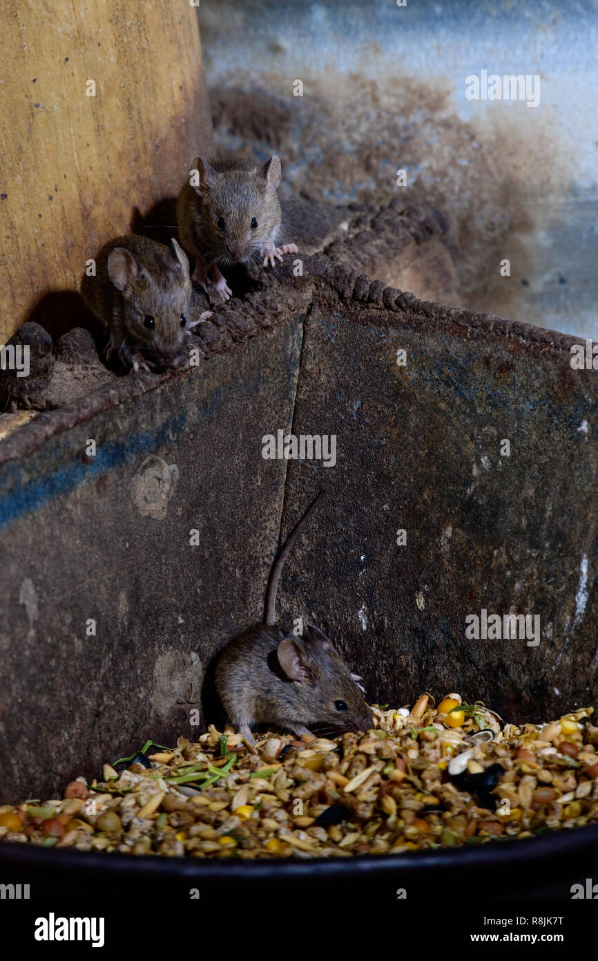 Cheeky Mice eating the chickens grain Stock Photo