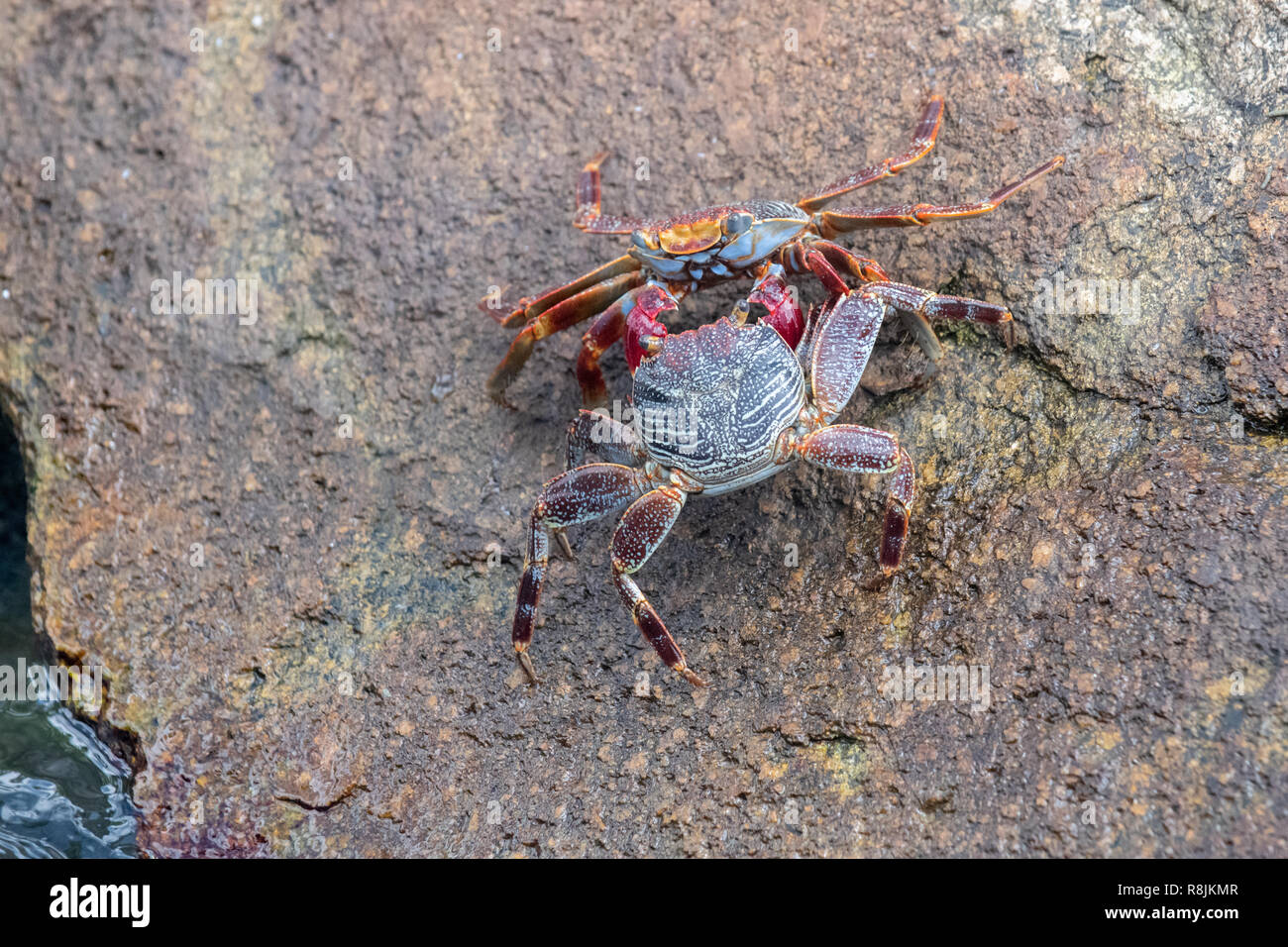 Sally Lightfoot crab fighting - Grapsus Grapsus on rock - red rock crabs with red claws battle and fight - Stock Image