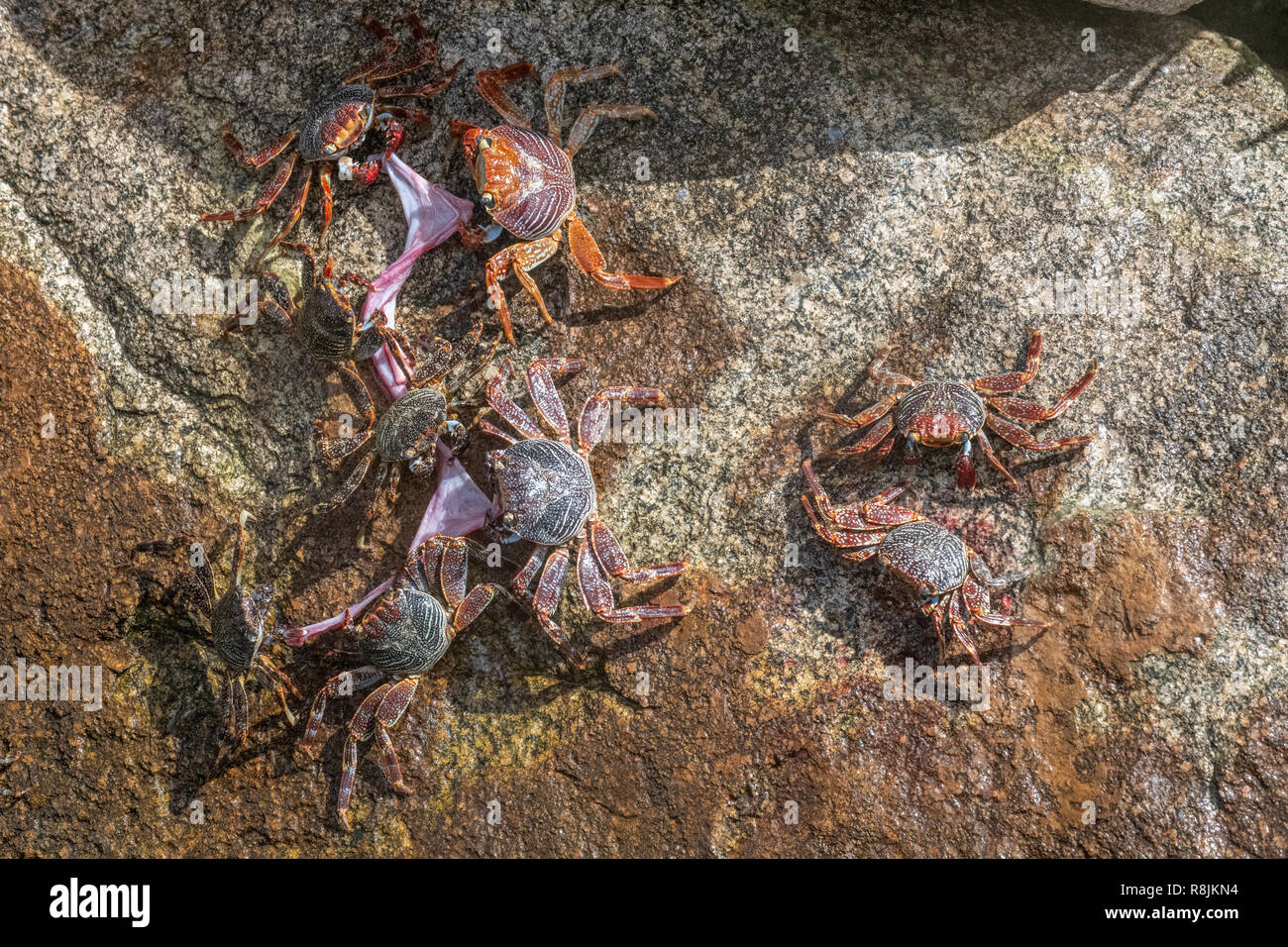 Sally Lightfoot crab - Grapsus Grapsus crabs tearing / eating fish remains - red rock crabs on colorful background - crabs with red claws scavengers - Stock Image