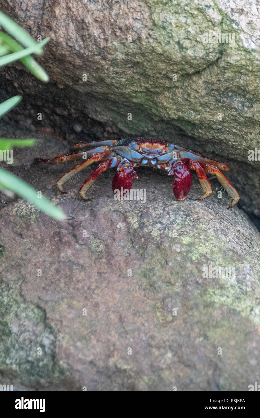 Sally Lightfoot red claw crab - Grapsus Grapsus - Sally Lightfoot crab close up on rock - red rock crab scavenger - Stock Image