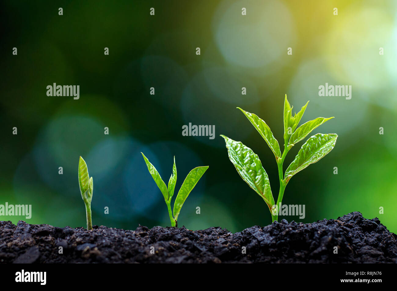 Development of seedling growth Planting seedlings young plant in the morning light on nature background Stock Photo