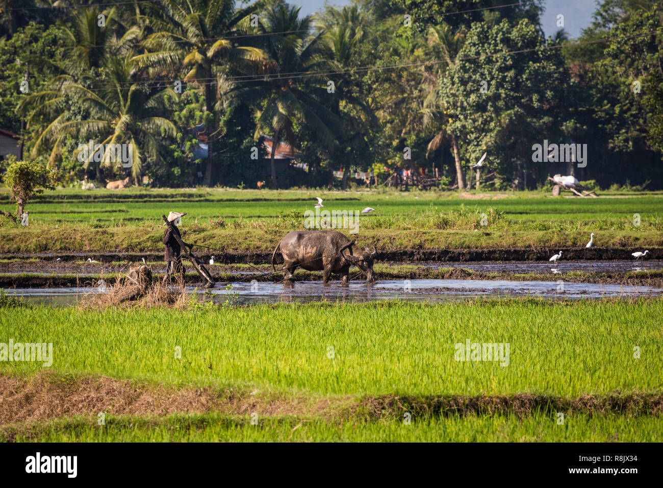 Arbeit auf einem Reisfeld auf Mindanao, Philippinen - Stock Image