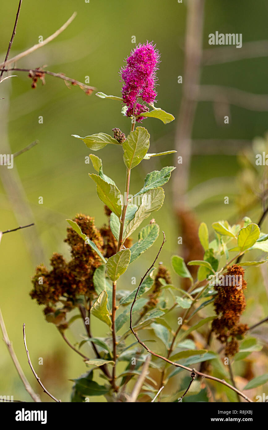 pink butterfly bush bloom in august with dried blooms nearby - Stock Image