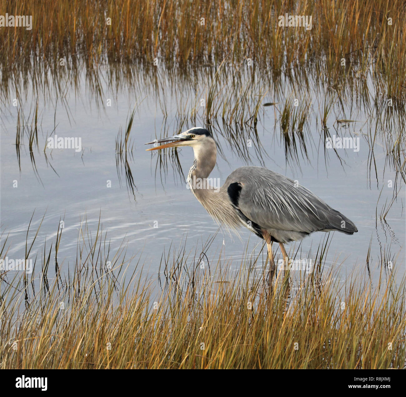 a big adult heron walking in the water eating herbs Stock Photo