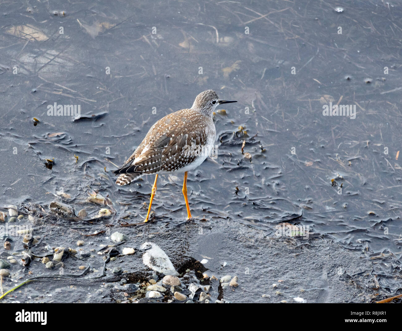 a sandpiper alone on the beach in Rimouski - Stock Image