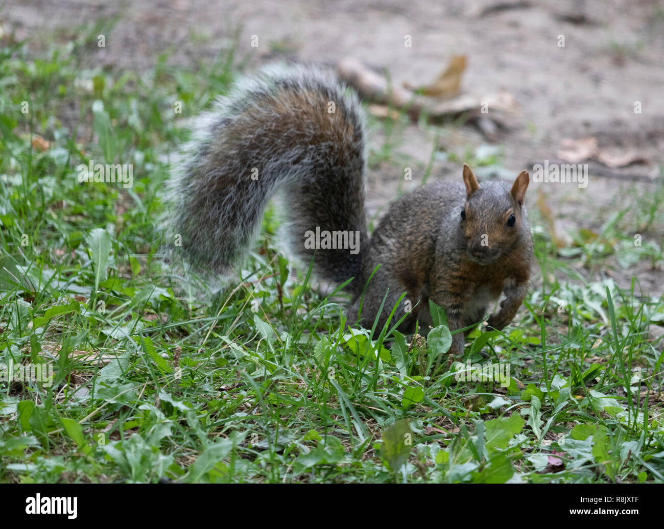 smart squirrel with big tail poses in Montreal park without fear Stock Photo