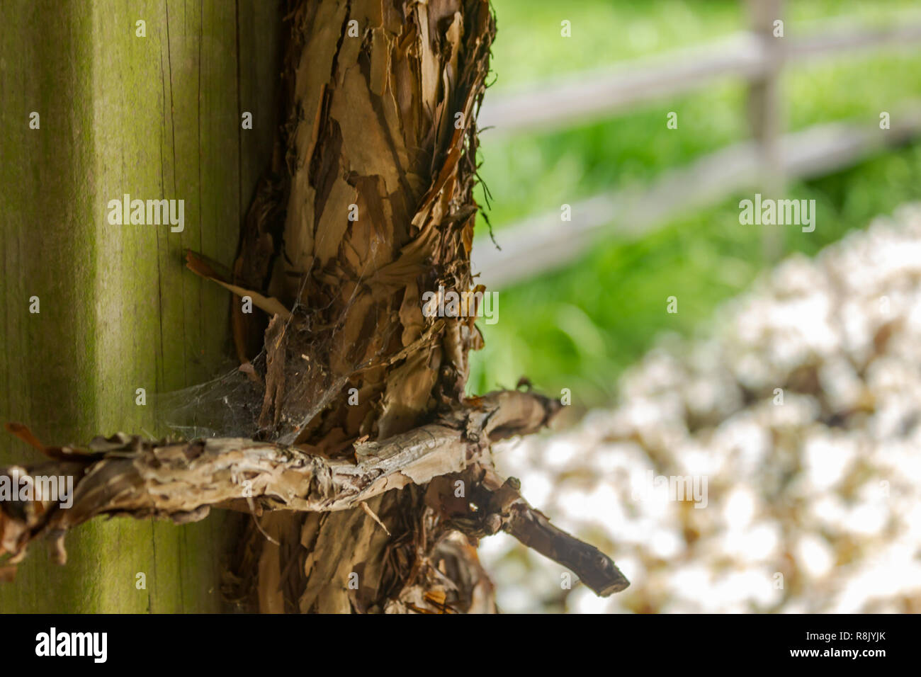 old large vines thincken and strong around wooden frame 2 - Stock Image