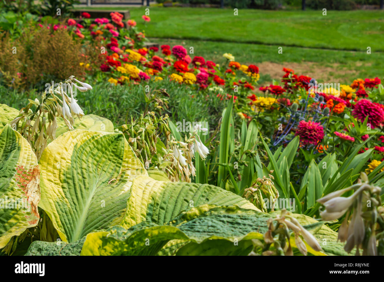 Hosta S And Elephant Ears In Colorful Garden Of Zinnias Stock
