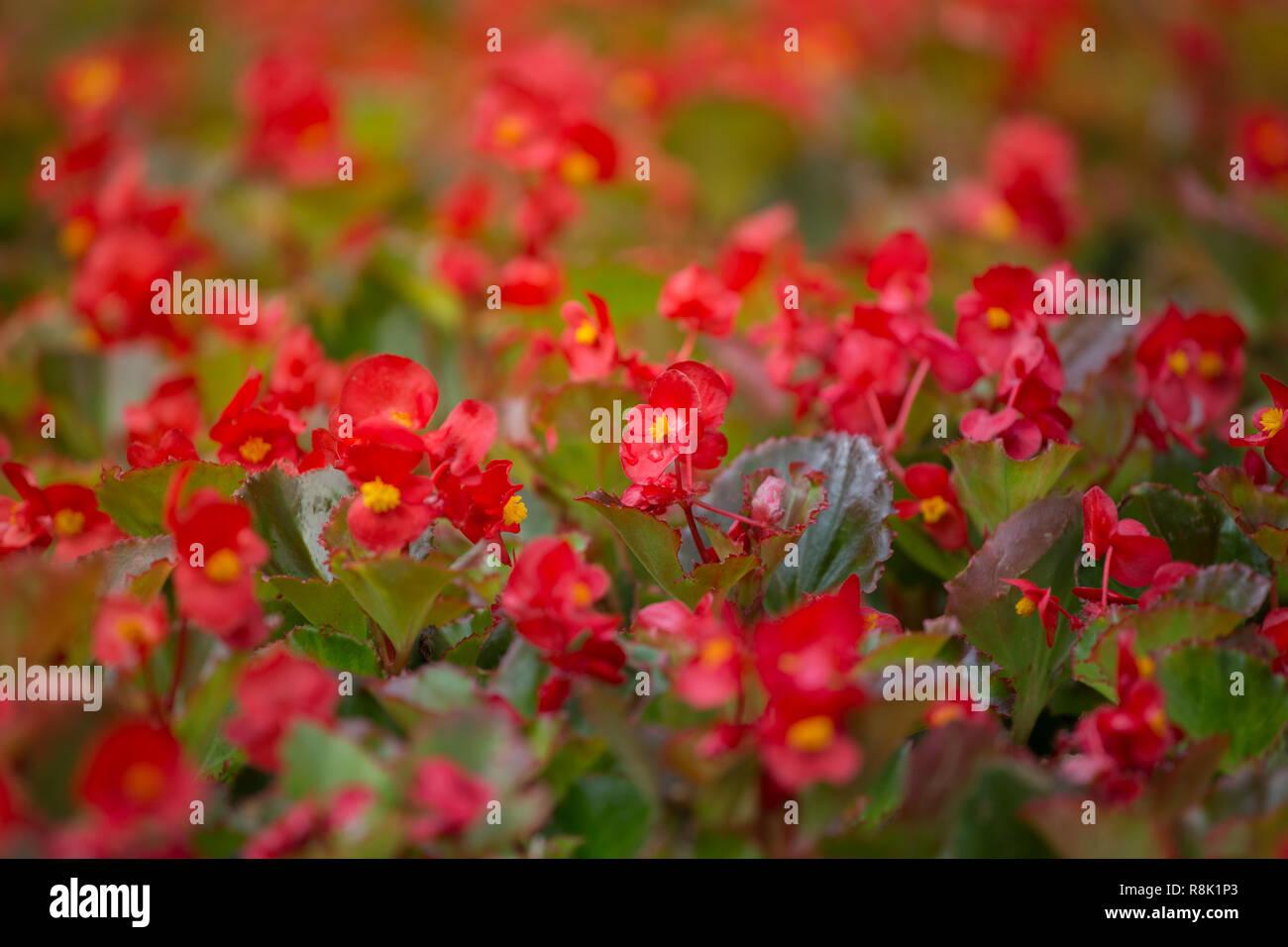 Fiori Gialli Con Pistilli Rossi.Shimmery Background Stock Photos Shimmery Background Stock
