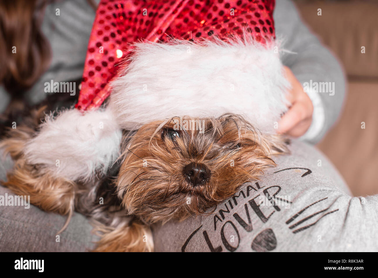 A small dog in a New Year's hat is sitting on the owner's lap.Funny dog in a New Year's. - Stock Image