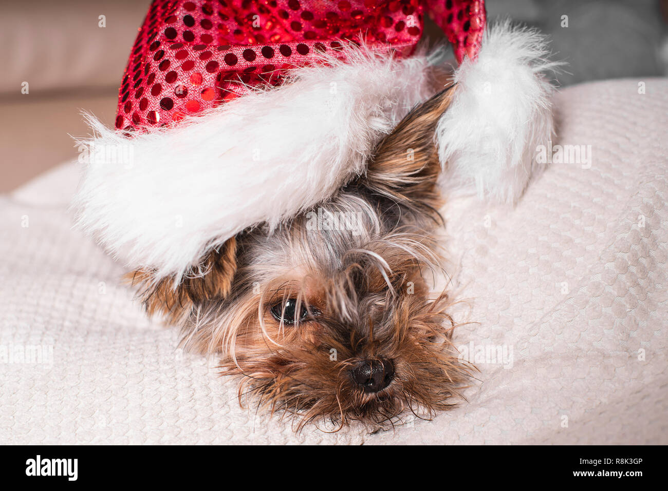 A small dog in a New Year's hat is lying on a white pillow. Funny dog in a New Year's. - Stock Image