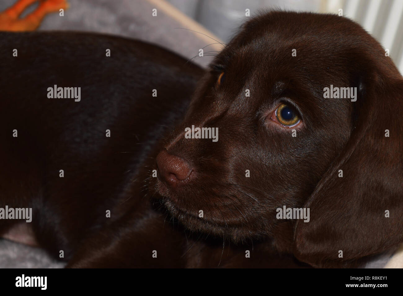 puppy of a chocolate brown labrador looks curiously sideways close up view, chocolate labrador retriever puppy male portrait studio shot - Stock Image