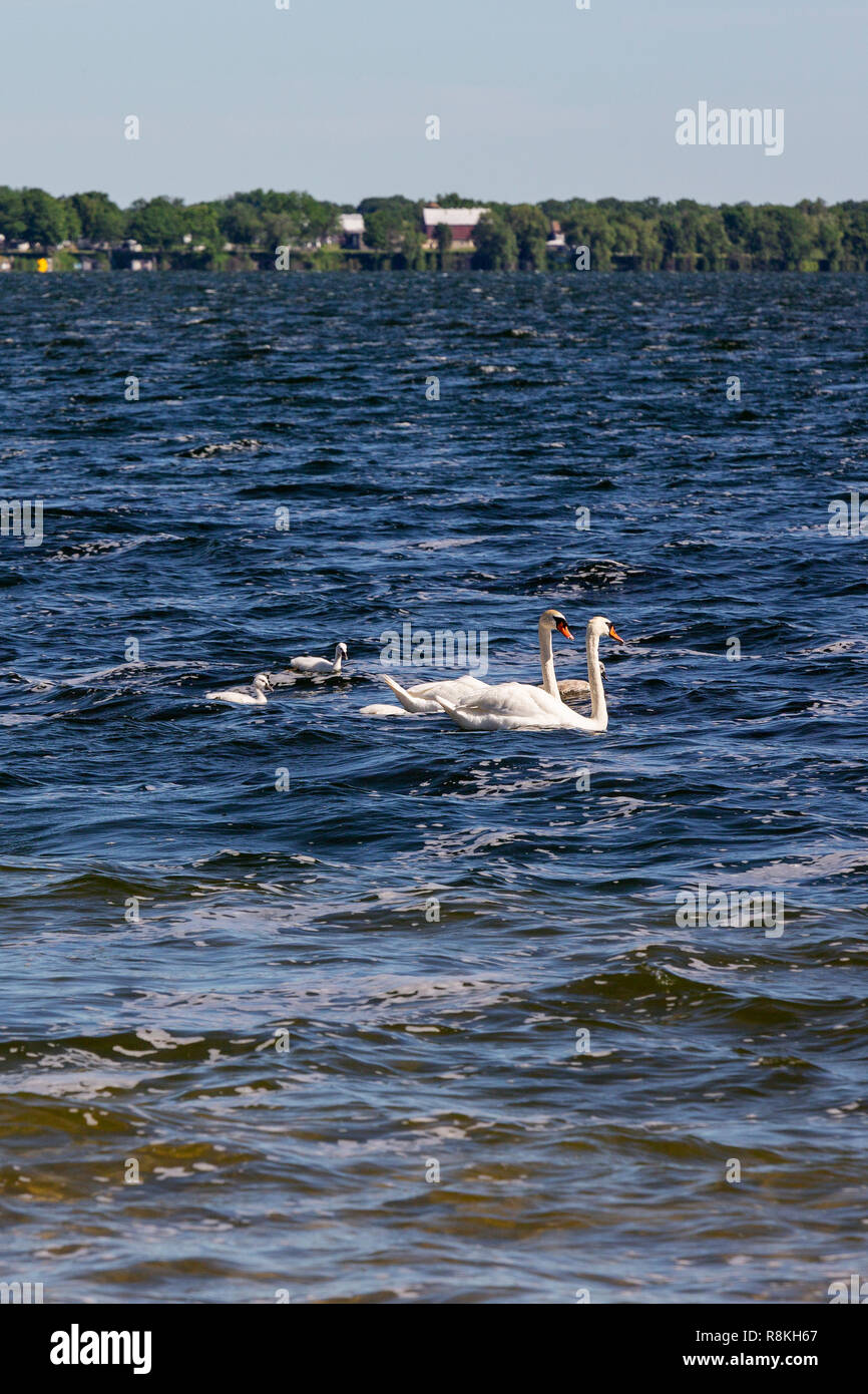Canada, Province of Ontario, Prince Edward County, Sandbanks Provincial Park, white swans - Stock Image