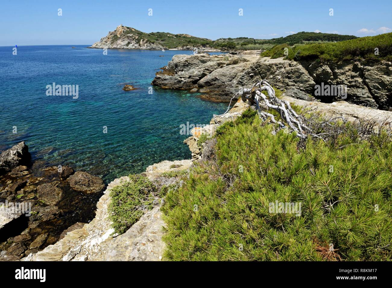 France, Var, Six Fours les Plages, Le Brusc, peninsula of Gaou, Alep pine (Pinus halepensis) lying down by the wind, sight on the island of Embiez - Stock Image