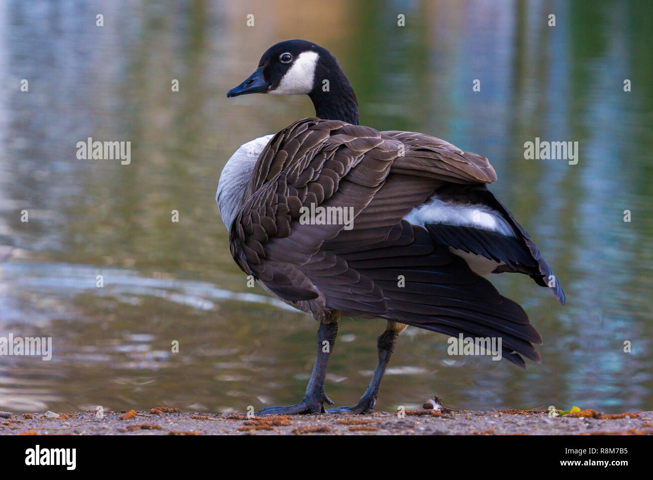 Close-up of a Canada goose (Branta canadensis) at the Lake, - Stock Image
