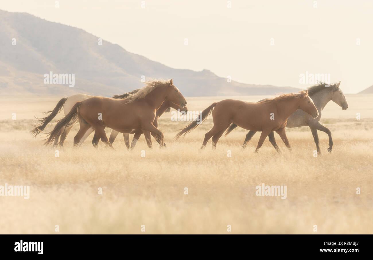 Wild Horses Running In The Desert Stock Photo Alamy