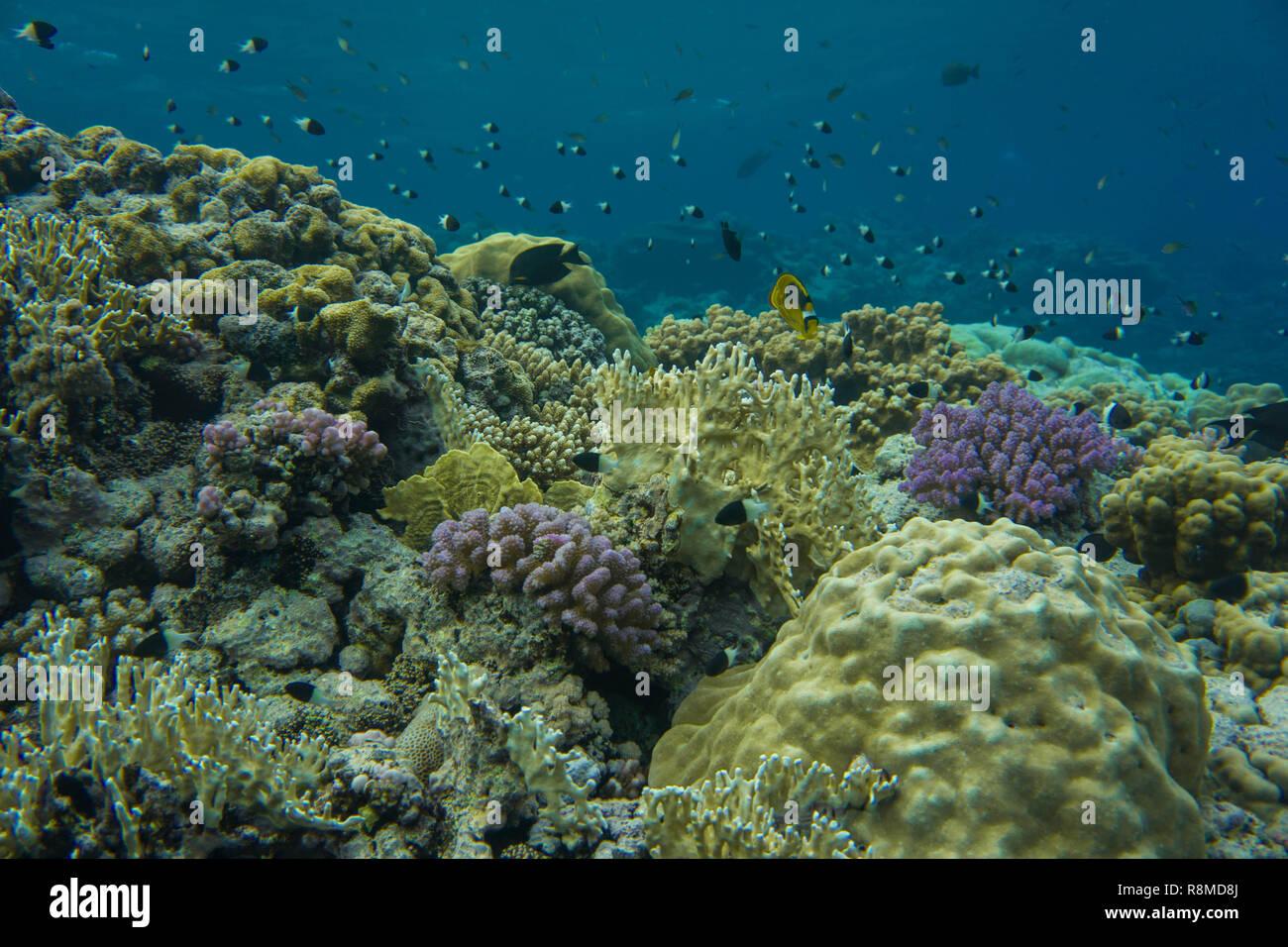 Wunderschöne Korallenbänke am Roten Meer. Auch die Fischschwärme sind wundervoll Stock Photo