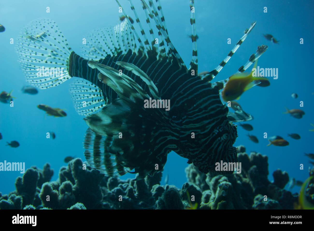 Viele Rotfeuerfische im Roten Meer entdeckt. - Stock Image