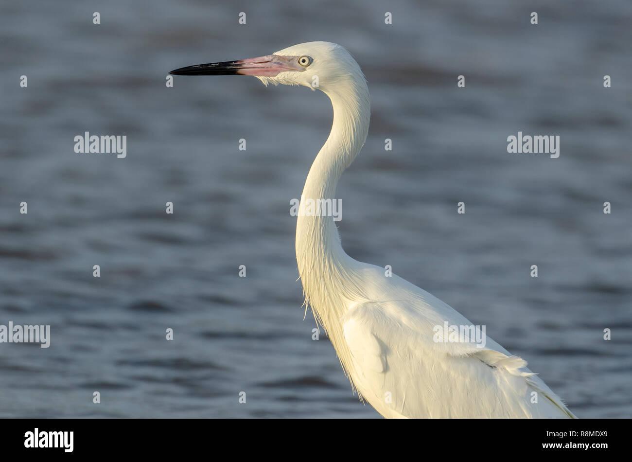 Near Threatened Reddish egret white morph (Egretta rufescens) in Florida's coastal area - Stock Image