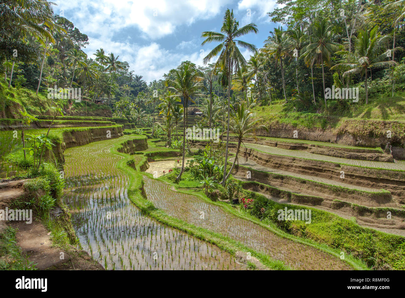 A Tegalalang rice terrace views of Bali in Indonesia. Stock Photo