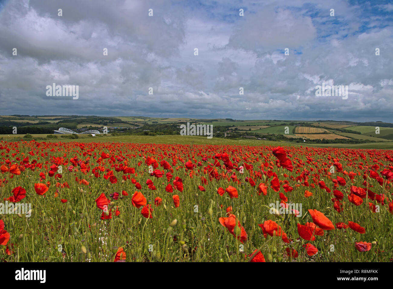A field of Poppies - Papaver rhoeas on the South Downs National Park, East Sussex, England, Uk, Gb. Stock Photo