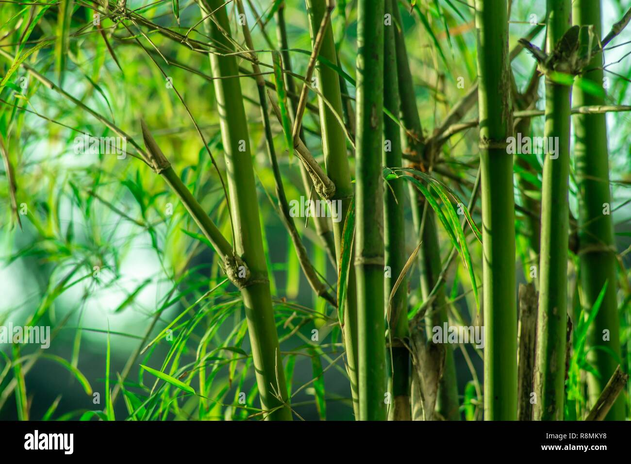 Lanscape Of Bamboo Tree In Tropical Rainforest Stock Photo