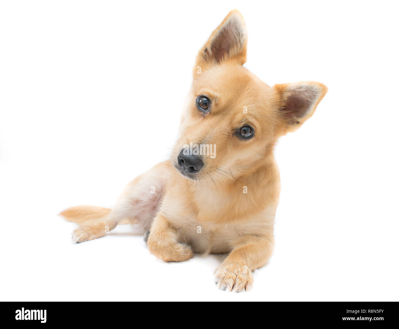 Adorable Crossbreed dog with curious expression. Dog is a mix between a Jack Russell terrier and a chihuahua. - Stock Image