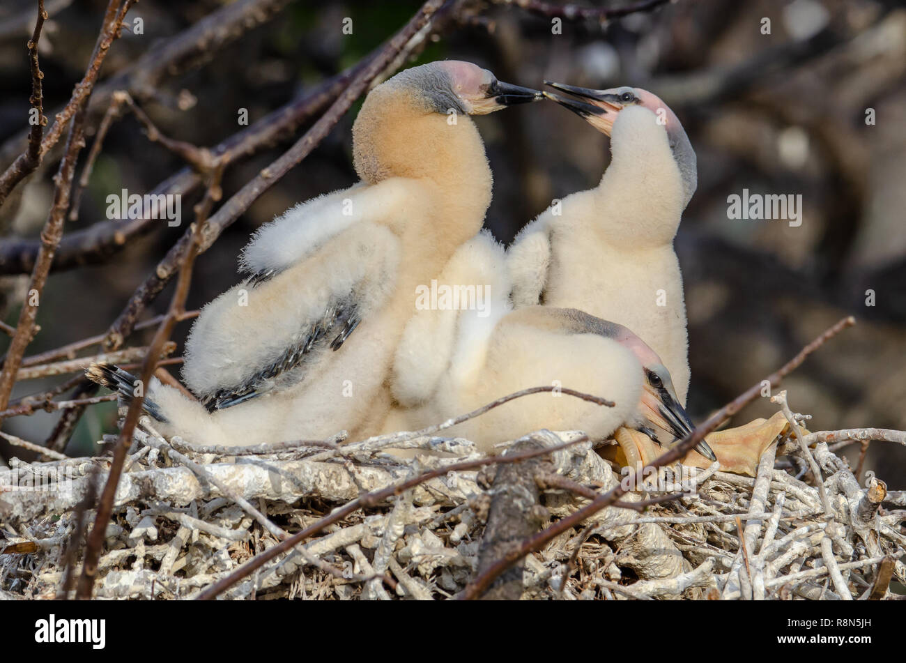 Anhinga chicks (Anhinga anhinga) in nest in Florida's wetlands - Stock Image