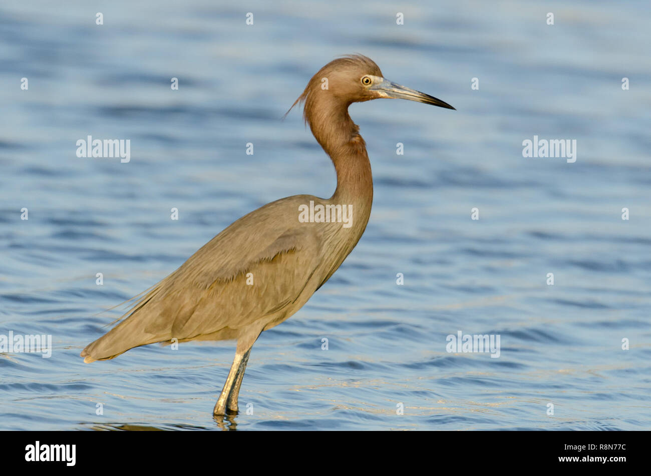 Reddish egret (Egretta rufescens) is a Near Threatened bird found in Florida's coastal lands. - Stock Image